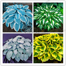 100 PCS Seeds Hosta Bonsai Plantain Lily Flowers White Lace Garden Ground Cover