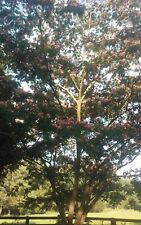 1 Silk Mimosa Tree Fragrant Pink Flowers Albizia Sapling