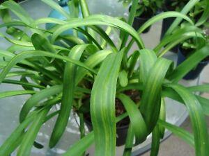 Agapanthus blau, Schmucklilie