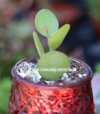 Cutting Xerosicyos danguyi Silver dollar vine plant Rare Cactus Succulent
