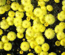 ICE PLANT GOLD NUGGET Delosperma Congestum - 100 Bulk Seeds