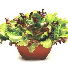 601+ORGANIC GOURMET SALAD MIX Seeds MIXED GREENS Non-GMO Spring/Fall Garden