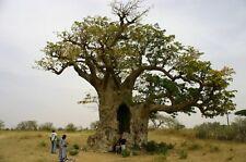 LOT SET 10 BAOBAB SEEDS ADANSONIA DIGITATA THE GIANT FROM AFRICA (FOR BONZAI)