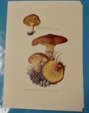 Planche poster art print Affiche Botanique Champignon Bolet à pied creux Phyllop