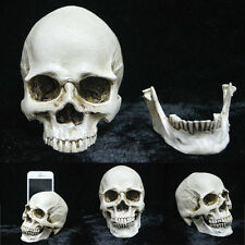 Human Lifelike Skull Resin Model Anatomical Medical Teaching Anatomy Skeleton