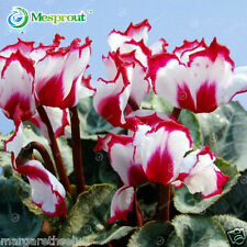 Hot Deal Edge Cyclamen Flower Seeds Flowering Plants cyclamen DIY Home Garden