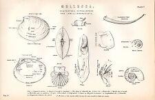 1880 PRINT ~ MOLLUSCA ~ SCAPHOPODA CEPHALOPODA LAMELLIBRANCHIATA