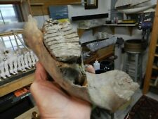 Authentic Extinct Woolly Mammoth Full Tooth & Partial Jaw 3.7 Pounds
