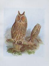 1917 LONG-EARED OWL Asio Otus alter Druck antique print Litho Vögel Birds