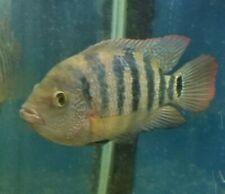 "8.5"" Mayan Cichlid Red Terror Male  (Cichlasoma urophthalmu) Live Tropical Fish"