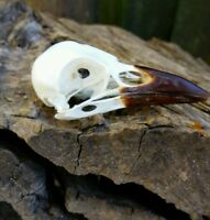 GENUINE CROW SKULL TAXIDERMY EDUCATION COLLECTION STEAMPUNK GOTHIC