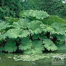 Gunnera Manicata - Giant Rhubarb. - 10 very small seeds