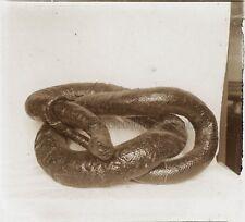 Boa constricteur Photo H4 Plaque de verre Stereo Vintage
