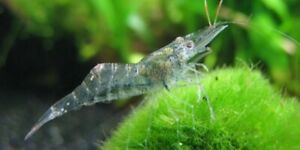 8+2 Ghost Shrimp. With Java Moss , FAST SHIPPING FREE SHIPPING !! Free Moss !!!!