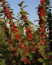 Prunus tomentosa Nanking Cherry Tree 25 Seeds #Fruit