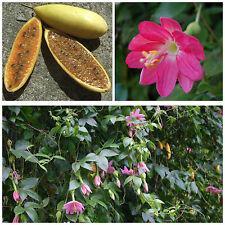 10 graines de Passiflora mollissima, maracuja, fruit de la passion, F