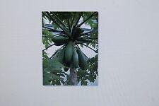 10 Semillas Carica papaya, Árbol De Melón Exótico, # 105