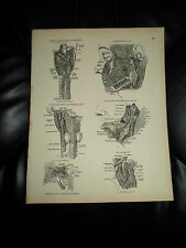 NERVOUS SYSTEM ASSORTD #85 Rare Old Print From Descriptive Atlas of Anatomy 1880
