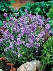 Lavender Seeds Lavandula Ellagance Sky 50 Seeds ( Perennial )