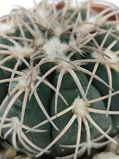 Gymnocalycium spegazzini v. punillense, vaso 8CM (copiapoa,cactus,仙人掌 )