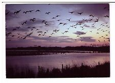 Postcard: Pink Footed Geese in flight at dawn - RSPB image
