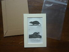 Gravure XIXè - BUFFON / PRETRE 1825 - le rat la souris - passe-partout