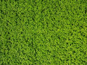 Perlkraut - Micranthemum Monte Carlo Epaqmat 20 x 15 cm Rollrasen im Aquarium