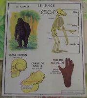 Old Map Carte Expo Squelette de Singe Chimpanzee, Crâne Humain et Gorille Bambou