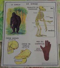 Old Map Objet de Métier Squelette de Chimpanzé, Crâne Humain et Gorille Bambou