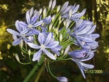 Blue Agapanthus Mature- Lot of 6