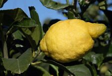 Lemon Tree Seeds- AMALFI COAST - Sfusato Amalfitano - ITALIAN ORIGIN - 10 Seeds