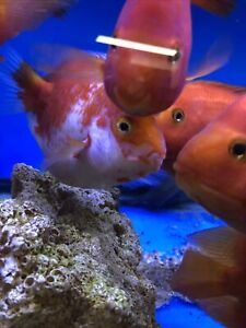 Koi Parrot Female White And Red )live Fish 5 inch Laid Eggs