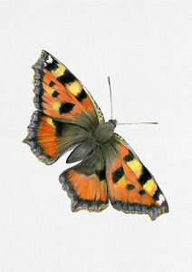 A4 Tortoiseshell Butterfly Watercolour Painting Signed Limited Edition Print