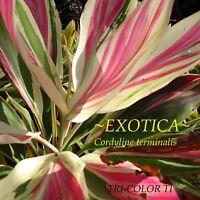 ~TRI-COLOR TI~ Cordyline terminalis EXOTICA TI Hawaiian Good Luck sm Potd PLANT