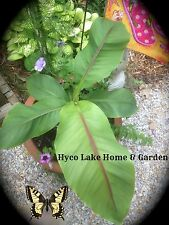 2 MUSA BASJOO Cold Hardy BANANA TREE Plants  **Healthy**