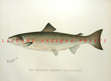 ATLANTIC KING CHINOOK SPRING SALMON ~ 1902 Sherman Denton Game Fish Art Print