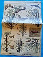 XIX Ancienne Gravure Insectes Nuisibles Papillon du Pin Teigne Sphinx Noctuelle