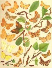 THORN MOTHS. Geometrae-Loopers;Aug;Canary-shouldered;Sep;Early;Lunar;Purple 1903