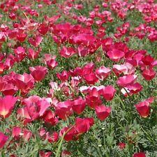 Poppy- Carmine King- 500 Seeds