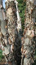 Betula Nigra River Birch, Ideal for Bonsai tree use to! pink bark! seeds rare