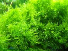 (8,99€/100ml) Phönixmoos fissidens fontanus Aquariummoos 100ml ca. 10x10cm