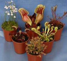6 CARNIVOROUS PLANT COLLECTION: 2 Venus Fly Trap;2 Drosera Capensis;2 Sarracenia