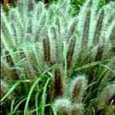 Ornamental Grass Seed - Pennisetum Alopecuroides Viridescens Seeds