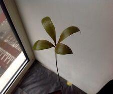 Plant: 1x Zamia roezlii- Rare Cycas Cycad Palm -no Seeds