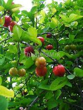 Barbados cherry Malpighia glabra 10 Seeds ThailandMrk
