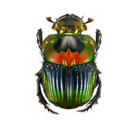 Phanaeus imperator female ONE REAL RED ORANGE SCARAB DUNG BEETLE PINNED