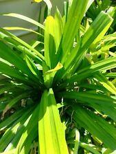 Pandanus2x rhizome plants.เตยหอม(Thai) Natural Fragrance & FoodColouring.