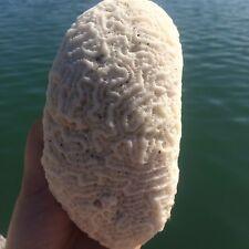 Natural White Caribbean BRAIN Coral Fossil, Ocean Salt Water, Fish Tank,Collect