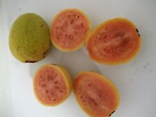 30 PINK GUAVA TROPICAL FRUIT SEEDS - PSIDIUM GUAJAVA