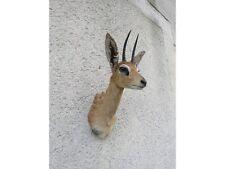 Taxidermie d'un Raphicère champêtre steinbok chasse trophée taxidermie Médaille